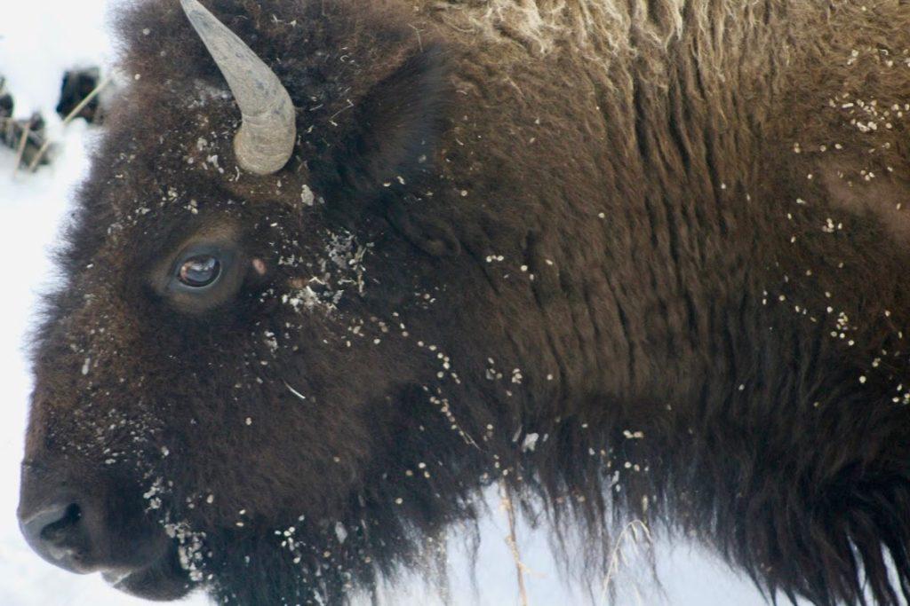 Bison in snow   Bison Bluegrass